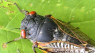 Cicadas are back again after 17 years of being underground