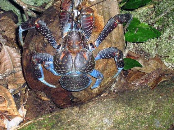 Birgus-latro-coconut-crab