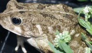 New Species of Toad Found in Qatar