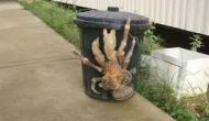 Largest Crab in the World!