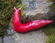 Giant pink slugs in Australia
