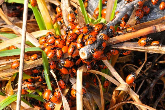 ladybugs2